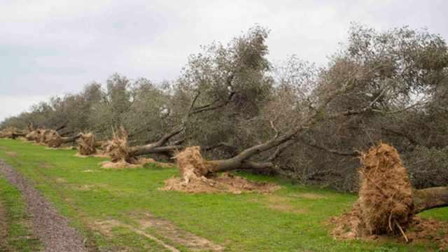xylella contagio alberi